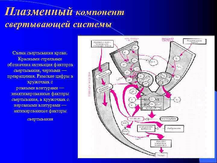 Плазменный компонент свертывающей системы Схема свертывания крови.  Красными стрелками обозначена активация факторов свертывания,