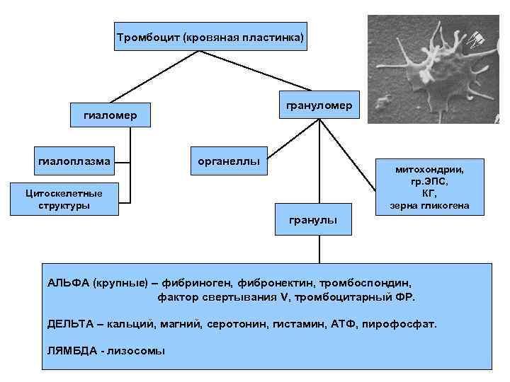 Тромбоцит (кровяная пластинка)    грануломер   гиаломер