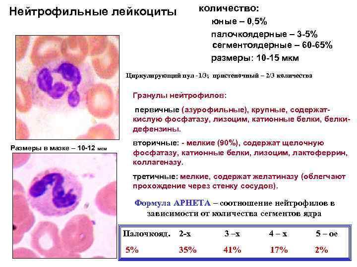 Нейтрофильные лейкоциты      количество:     юные –