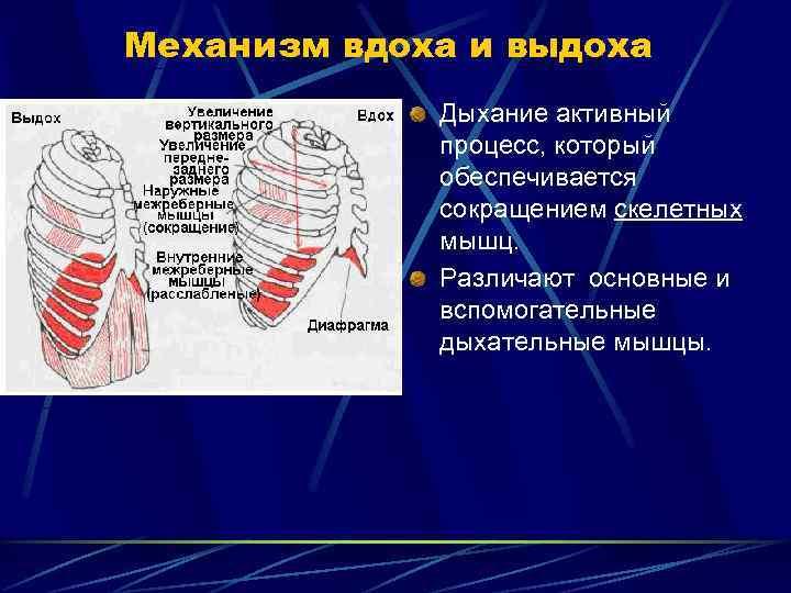 Механизм вдоха и выдоха   Дыхание активный   процесс, который