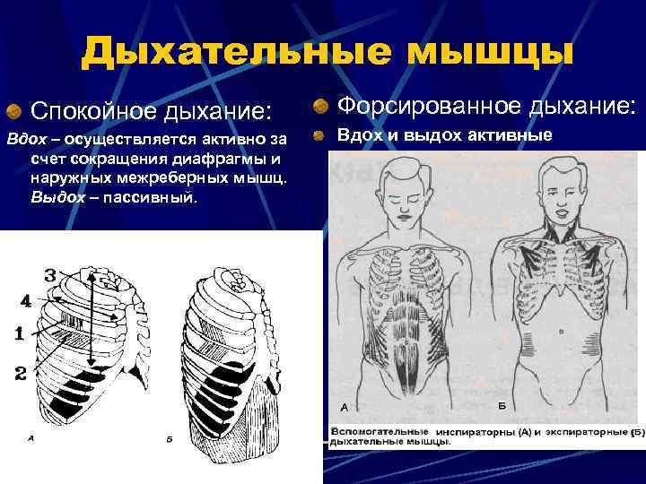 Дыхательные мышцы  Спокойное дыхание:    Форсированное дыхание: Вдох –