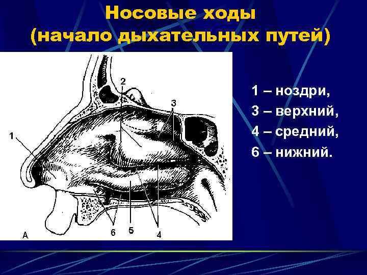 Носовые ходы (начало дыхательных путей)     1 – ноздри,
