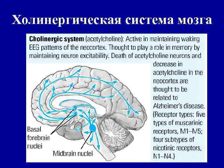 Холинергическая система мозга