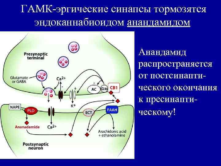 ГАМК-эргические синапсы тормозятся  эндоканнабиоидом анандамидом    Анандамид