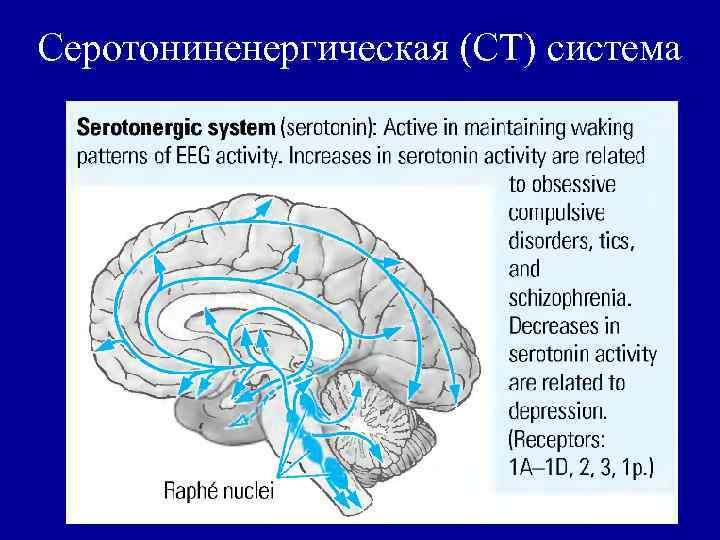 Серотониненергическая (СТ) система