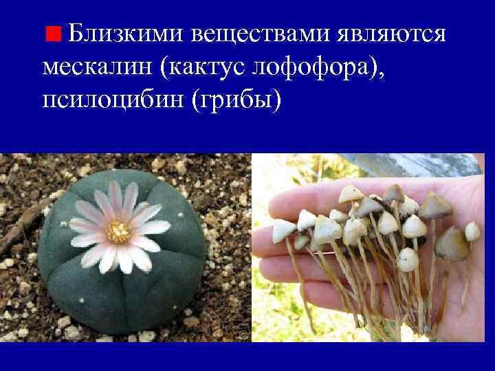 Близкими веществами являются мескалин (кактус лофофора), псилоцибин (грибы)