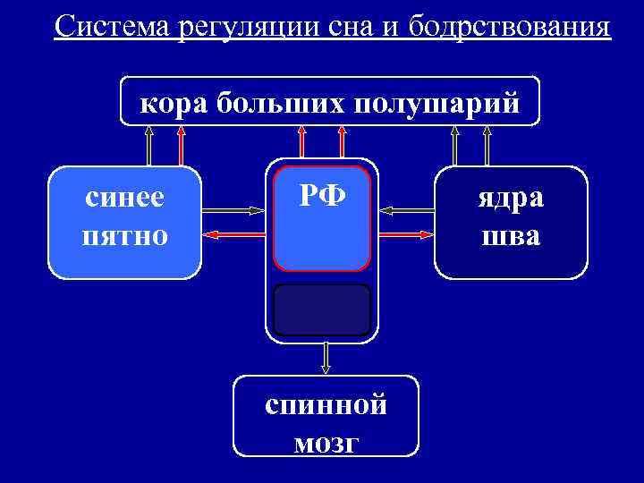 Система регуляции сна и бодрствования  кора больших полушарий  синее   РФ