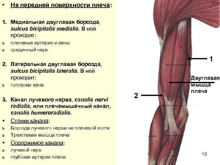 •  На передней поверхности плеча:  1. Медиальная двуглавая борозда, sulcus bicipitalis