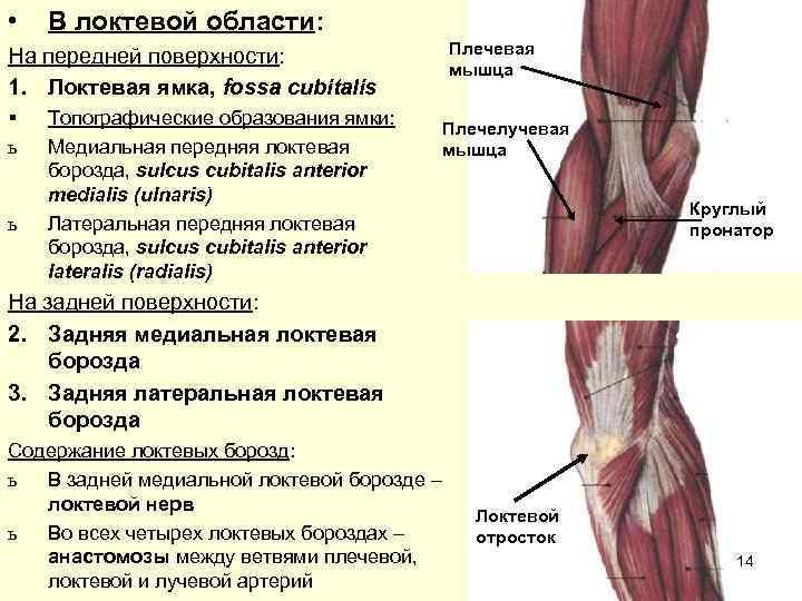 •  В локтевой области: На передней поверхности:    Плечевая