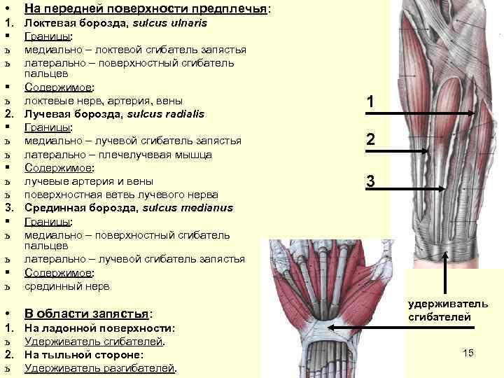 • На передней поверхности предплечья: 1. Локтевая борозда, sulcus ulnaris § Границы: ь