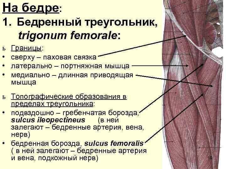 На бедре: 1. Бедренный треугольник, trigonum femorale: ь  Границы:  •  сверху