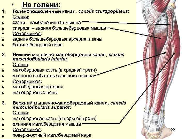 •  На голени: 1.  Голеноподколенный канал, canalis cruropopliteus: §  Стенки: