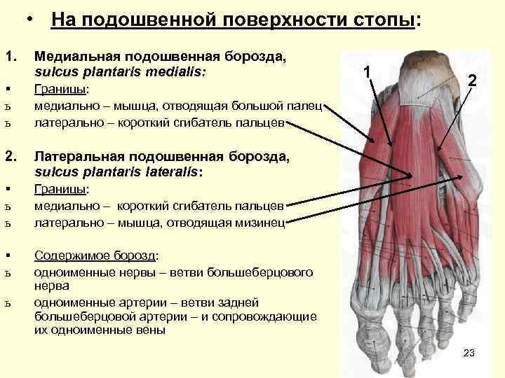 • На подошвенной поверхности стопы: 1.  Медиальная подошвенная борозда,  sulcus plantaris