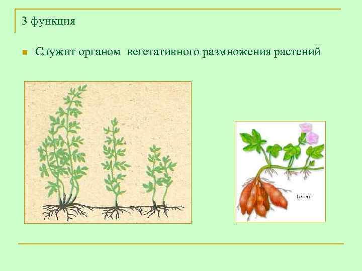 3 функция n  Служит органом вегетативного размножения растений
