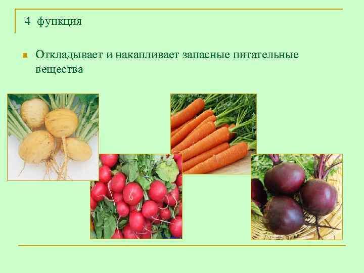4 функция n  Откладывает и накапливает запасные питательные вещества