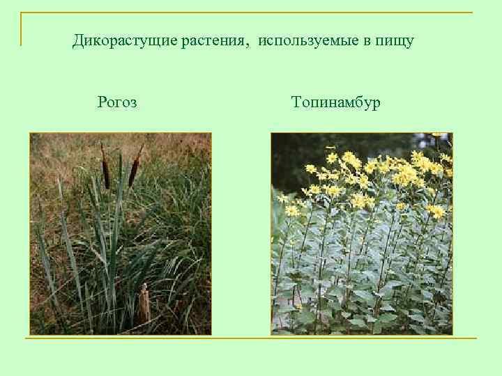 Дикорастущие растения,  используемые в пищу   Рогоз