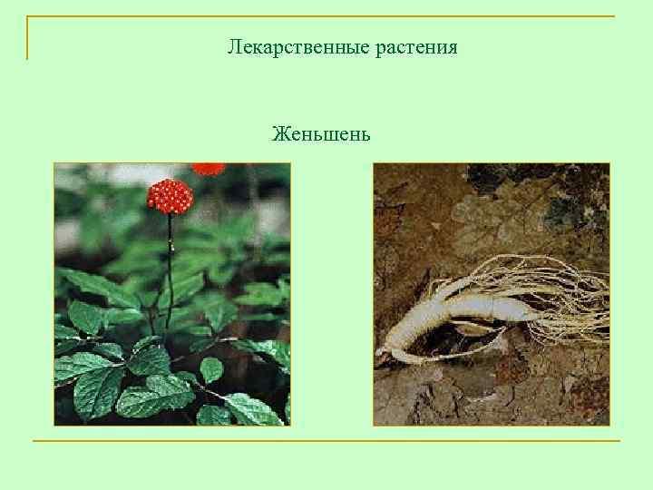 Лекарственные растения  Женьшень