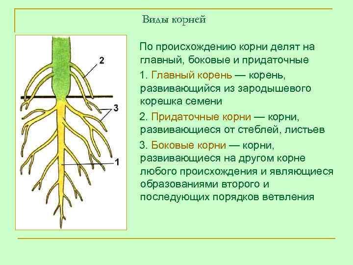 Виды корней По происхождению корни делят на главный, боковые и придаточные 1. Главный корень