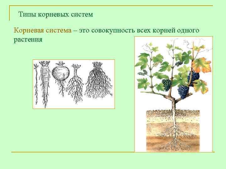 Типы корневых систем Корневая система – это совокупность всех корней одного растения