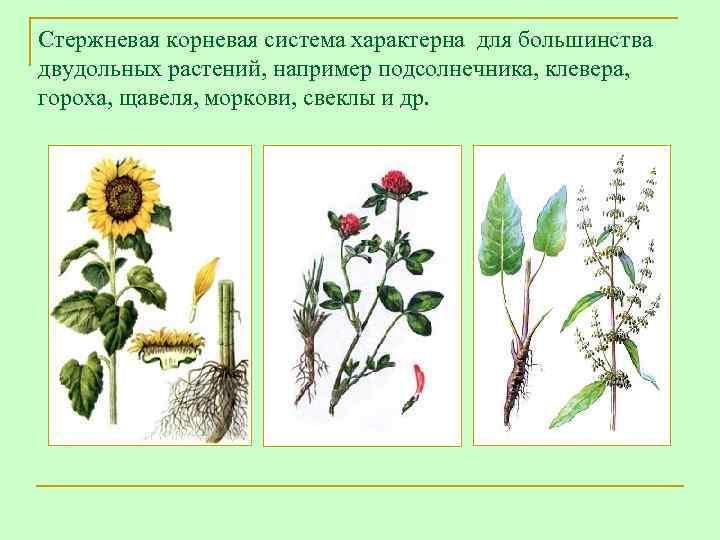 Стержневая корневая система характерна для большинства двудольных растений, например подсолнечника, клевера, гороха, щавеля, моркови,