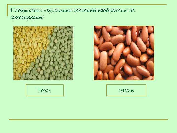 Плоды каких двудольных растений изображены на фотографии?    Горох