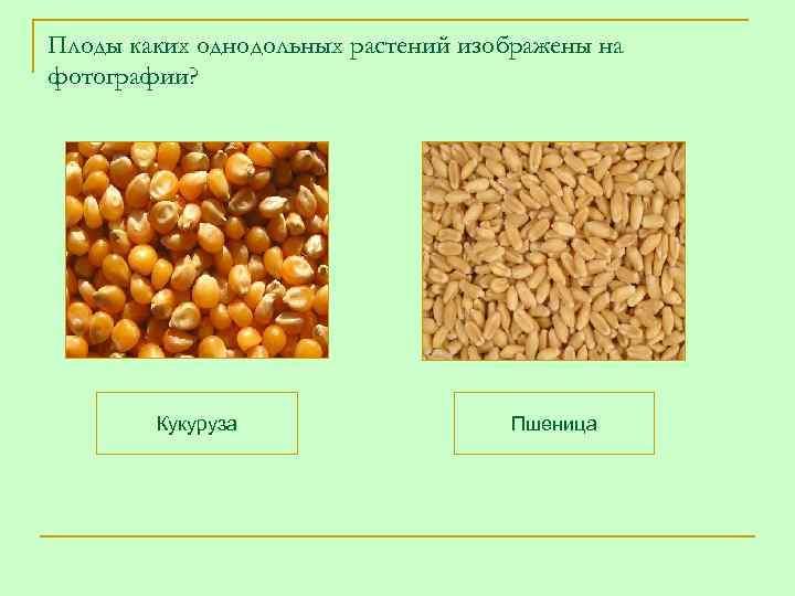 Плоды каких однодольных растений изображены на фотографии?   Кукуруза