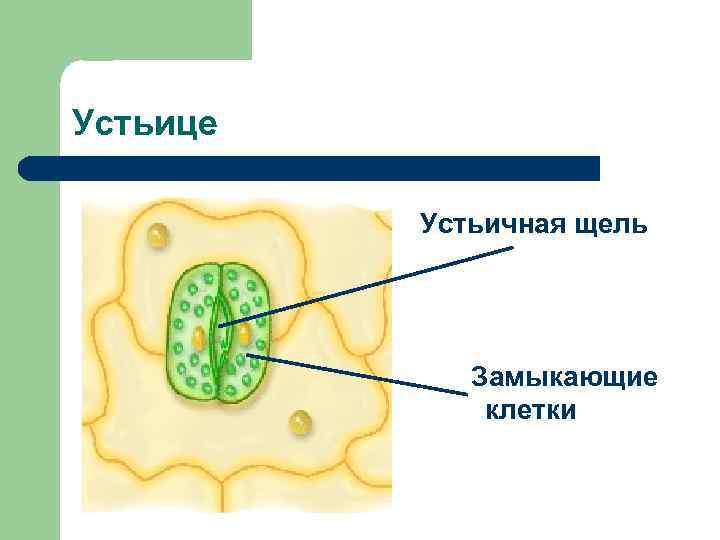 Устьице  Устьичная щель   Замыкающие    клетки