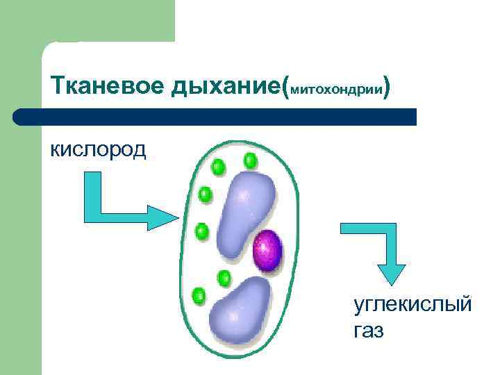 Тканевое дыхание(митохондрии) кислород     углекислый     газ