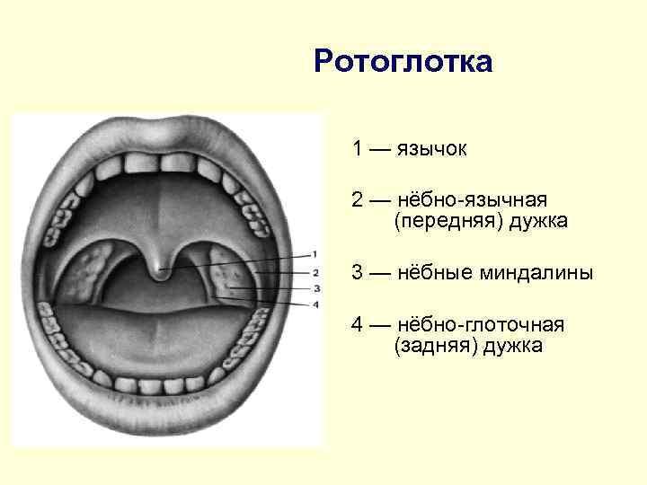 Ротоглотка  1 — язычок  2 — нёбно-язычная (передняя) дужка  3 —