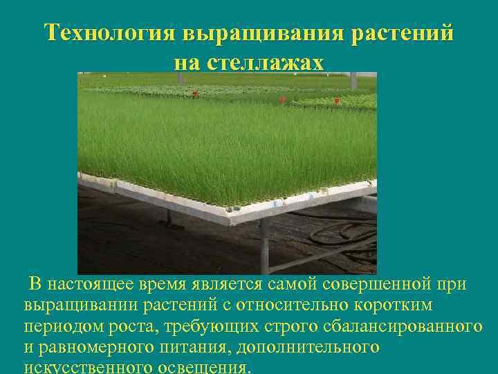Технология выращивания растений   на стеллажах В настоящее время является самой совершенной