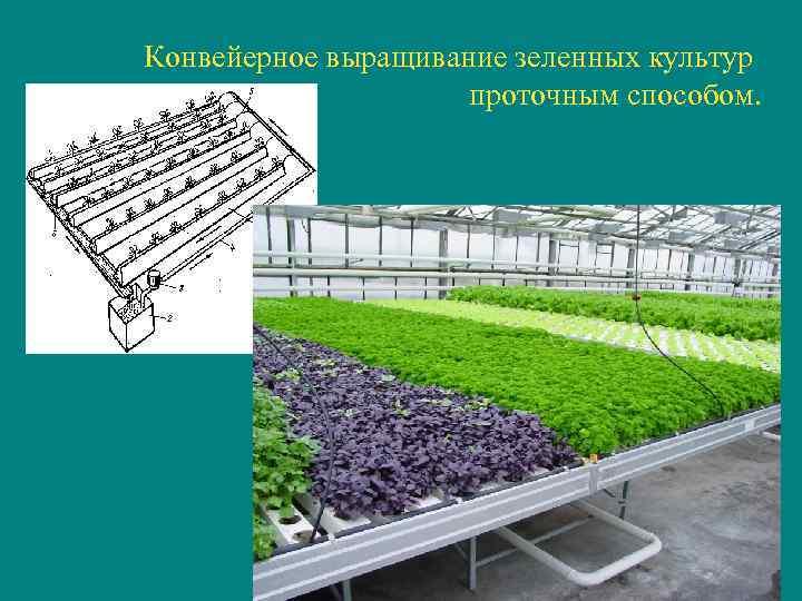 Конвейерное выращивание зеленных культур    проточным способом.