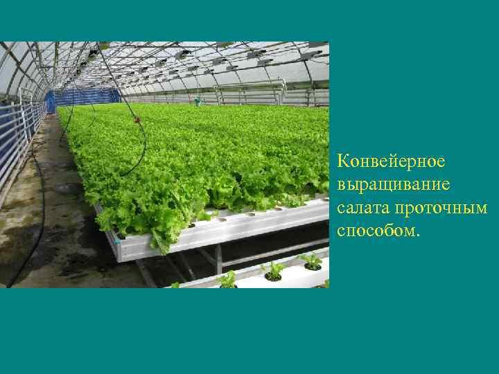 Конвейерное выращивание салата проточным способом.
