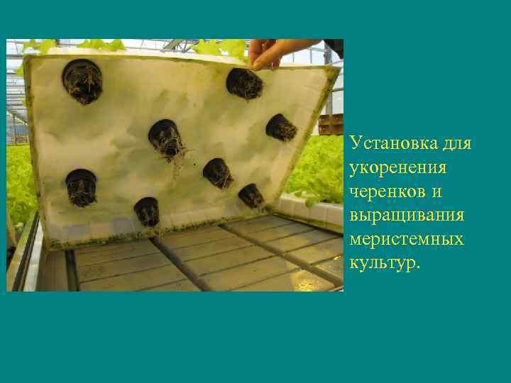 Установка для укоренения черенков и выращивания меристемных культур.
