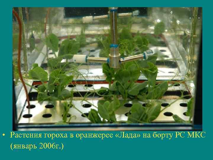 • Растения гороха в оранжерее «Лада» на борту РС МКС (январь 2006 г.
