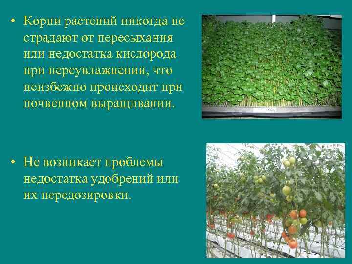 • Корни растений никогда не  страдают от пересыхания  или недостатка кислорода