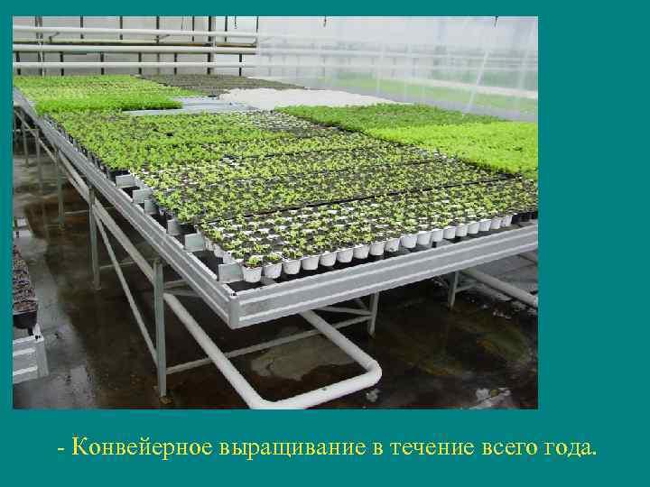 - Конвейерное выращивание в течение всего года.