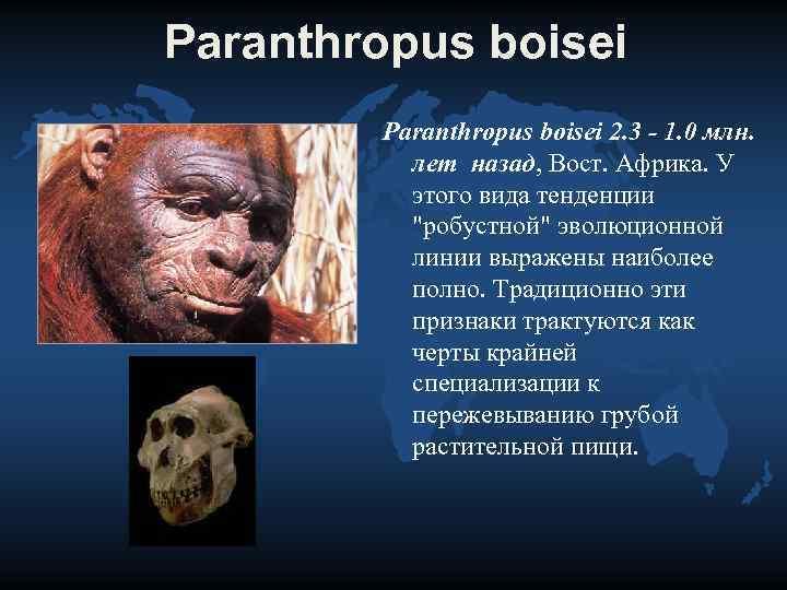 Paranthropus boisei   Paranthropus boisei 2. 3 - 1. 0 млн.