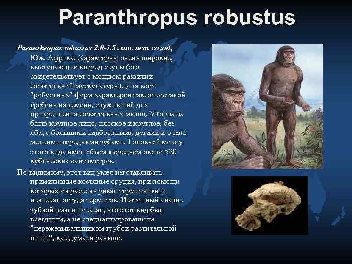 Paranthropus robustus 2. 0 -1. 5 млн. лет назад, Юж. Африка. Характерны