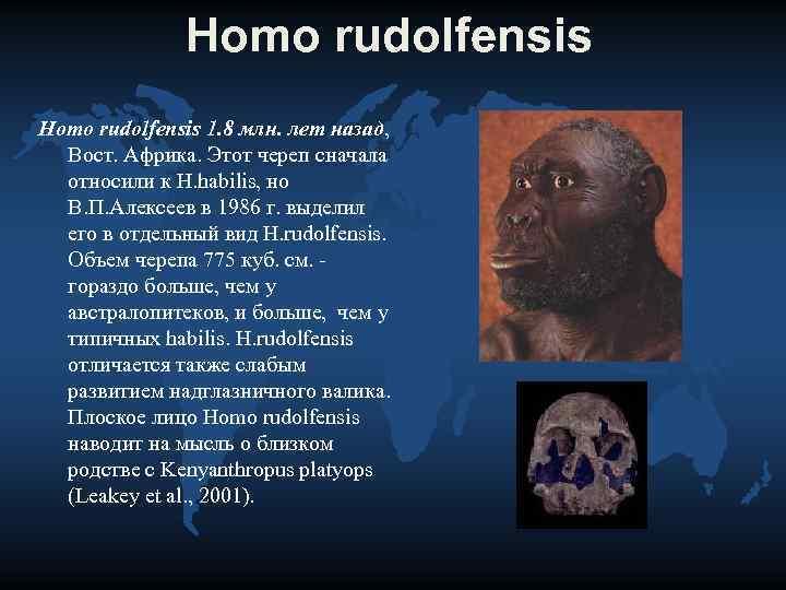 Homo rudolfensis 1. 8 млн. лет назад, Вост. Африка. Этот