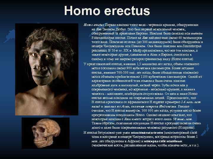 Homo erectus Первая находка этого вида - черепная крышка, обнаруженная   на Яве
