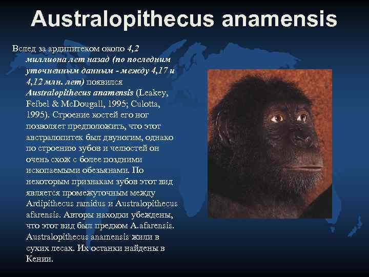 Australopithecus anamensis Вслед за ардипитеком около 4, 2 миллиона лет назад (по