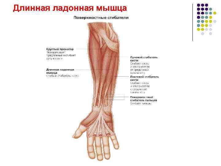 длинная ладонная мышца фото высоты
