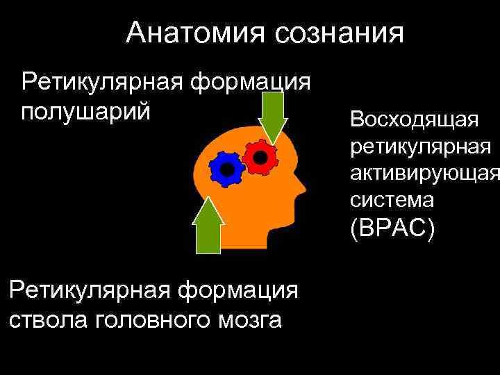Анатомия сознания Ретикулярная формация полушарий    Восходящая