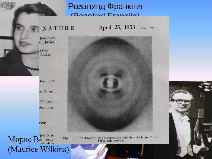 the significance of rosalinda franklin and maurice wilkins in the development of the dna model Wilkins was also responsible for alerting watson and crick to the key x-ray diffraction photograph taken by rosalind franklin which helped in their building of the model of the double-helix of dna that they published in 1953.