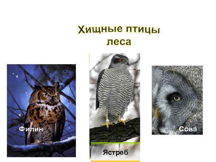 Филин  Сова  Ястреб