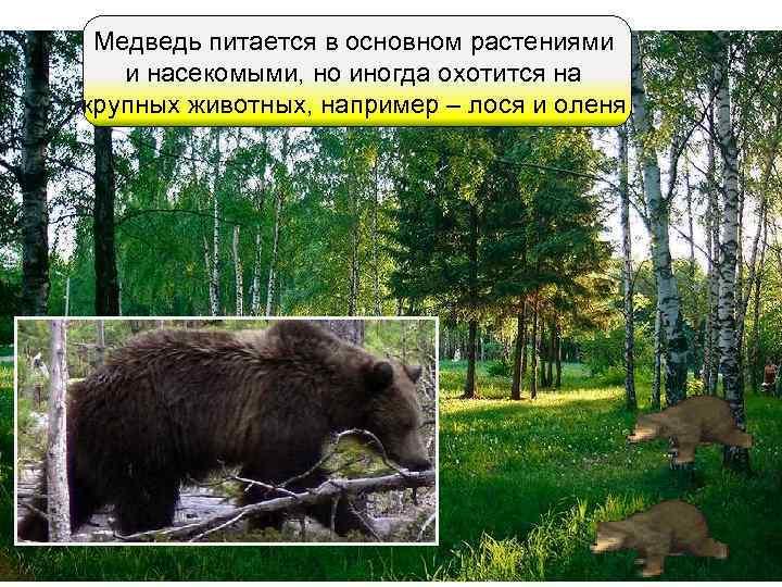 Медведь питается в основном растениями  и насекомыми, но иногда охотится на крупных