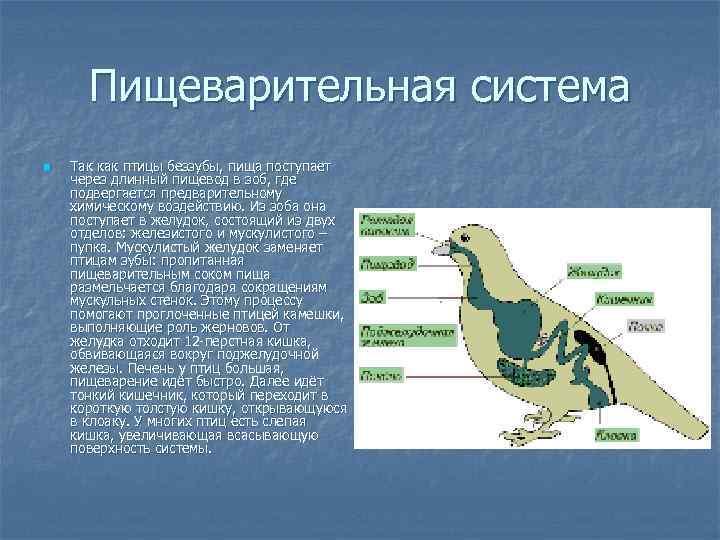 Пищеварительная система n  Так как птицы беззубы, пища поступает через длинный пищевод