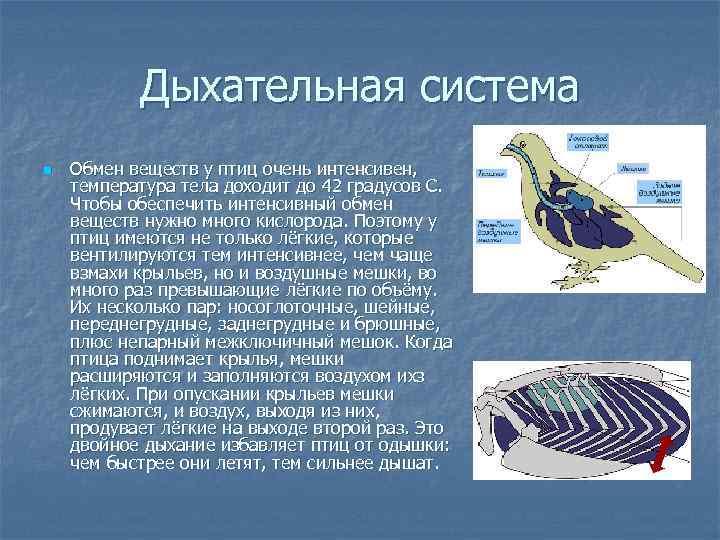 Дыхательная система n  Обмен веществ у птиц очень интенсивен, температура тела