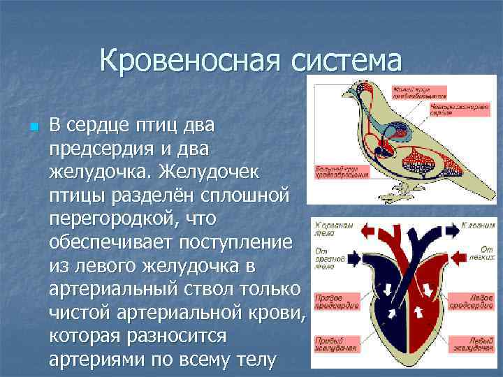 Кровеносная система n  В сердце птиц два предсердия и два