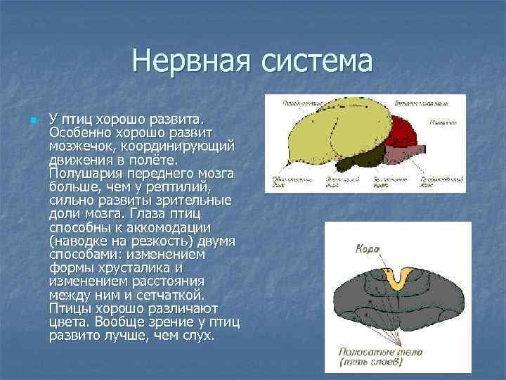 Нервная система n  У птиц хорошо развита. Особенно хорошо